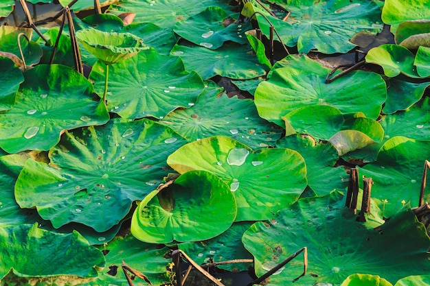 Lotusbaum und lotusblatthintergrund Premium Fotos
