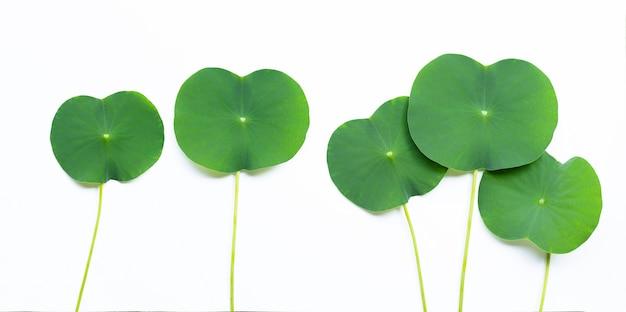 Lotusblätter auf weiß.