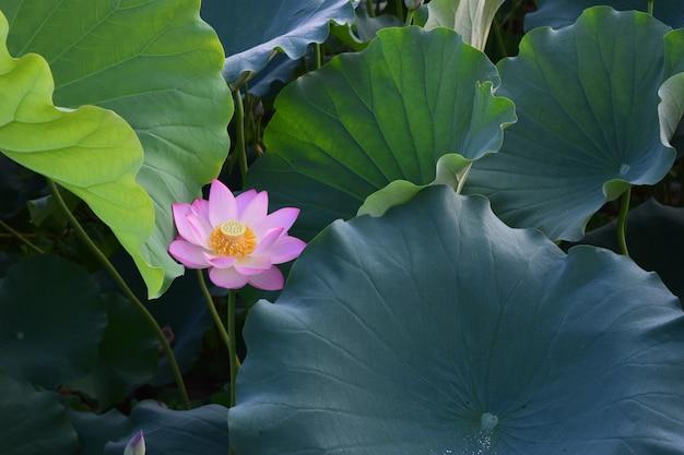 Lotusblüten, grüne blätter und rosa blüten