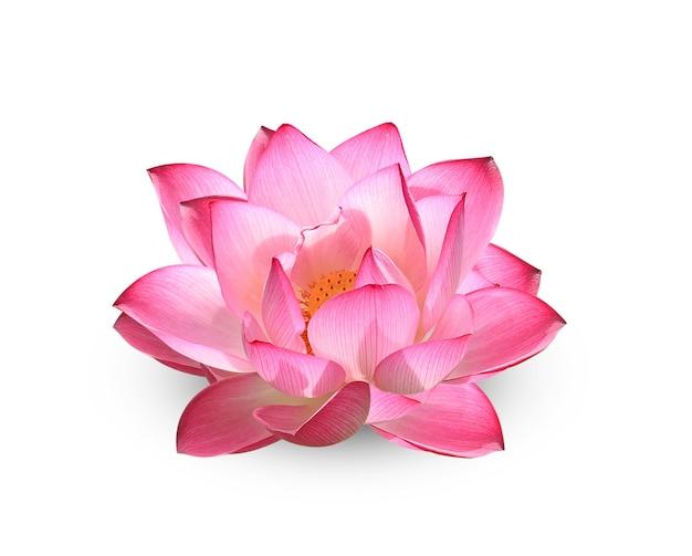 Lotusblume auf weiß