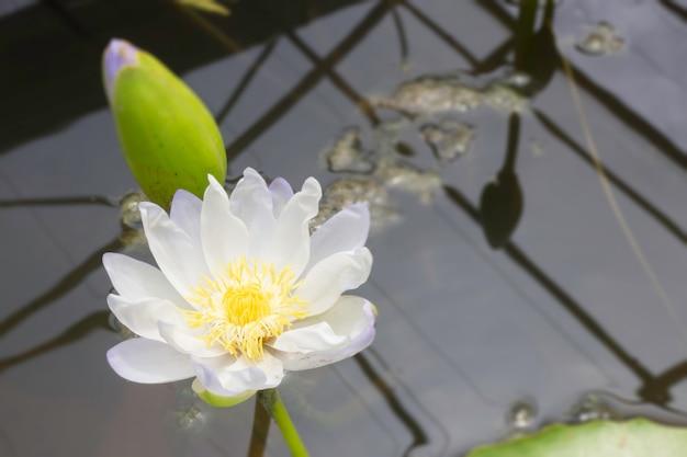 Lotusblume im botanischen garten, stock-foto