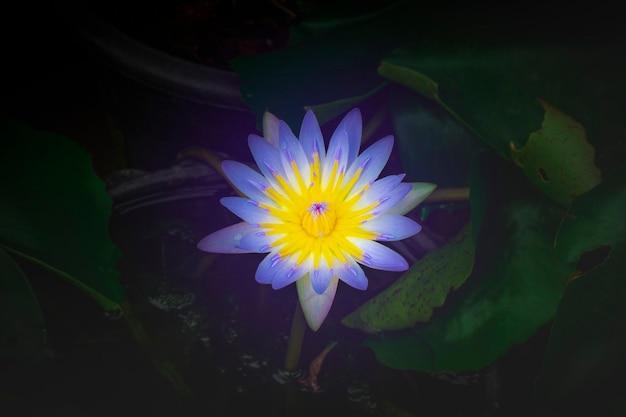 Lotusblume lila im blumentopf haben wasser
