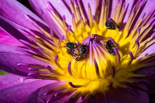 Lotusblume und biene