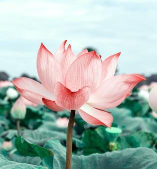 Lotusblumen im pool. rosa lotusblumen blühen am hellen morgen. naturkonzept für hintergrund