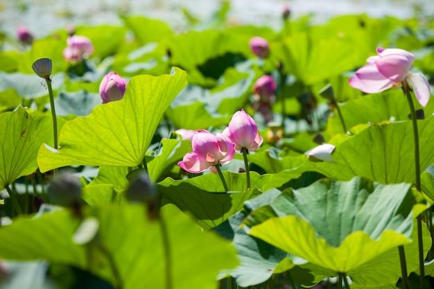 Lotusblumen mit großen grünen blättern auf dem see
