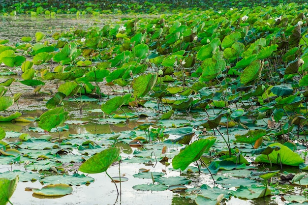 Lotusfelder am fluss