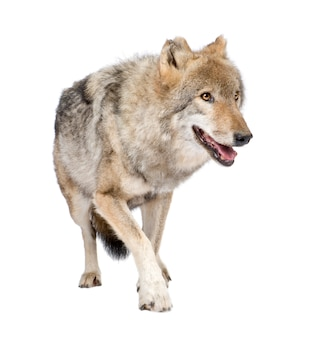 Loups roux européen