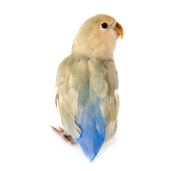 Lovebird im studio