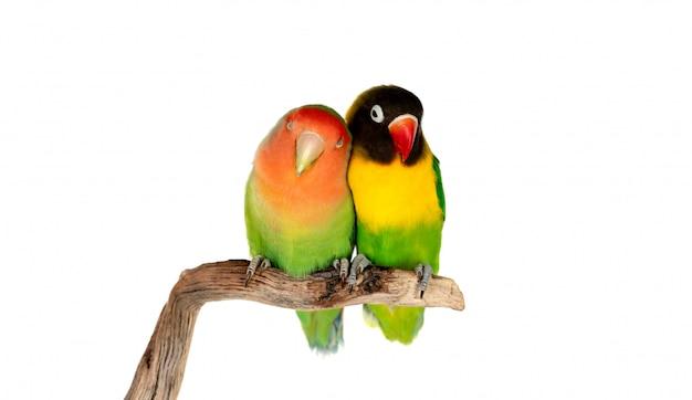 Lovebirds auf einem ast