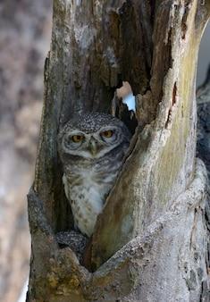 Lovely bird, spotted owlet in einem hohlen baum, athene brama