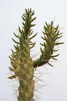 Low angle shot eines nadelkaktus eines eve, der seine langen, spitzen stacheln zeigt