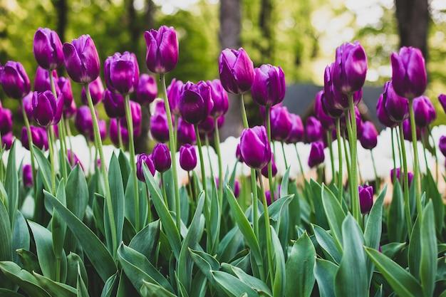 Low angle shot von lila tulpen, die in einem feld blühen