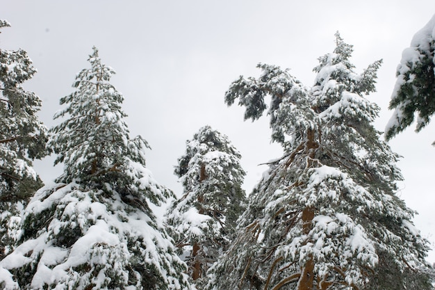 Low angle shot von schneebedeckten hohen bäumen in einem feld bei tageslicht