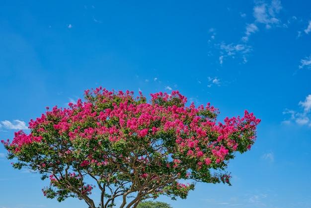 Low view lagerstroemia indica und blauer himmel