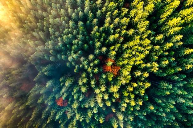 Luftaufnahme des dichten grünen kiefernwaldes mit überdachungen von fichten und buntem üppigem laub in den herbstbergen.