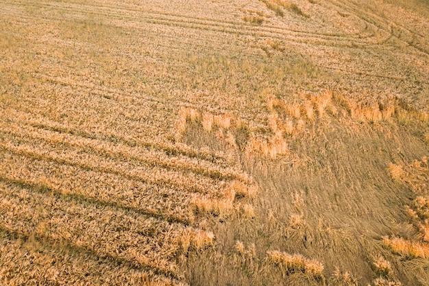 Luftaufnahme des reifen feldes, das zur ernte bereit ist, mit heruntergefallenen, von windweizenköpfen gebrochenen köpfen. beschädigte ernten und landwirtschaftsausfallkonzept.