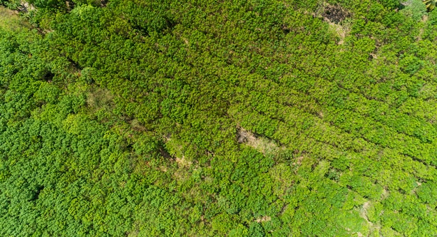 Luftaufnahme drohnen fliegen schuss draufsicht gummibäume plantage.