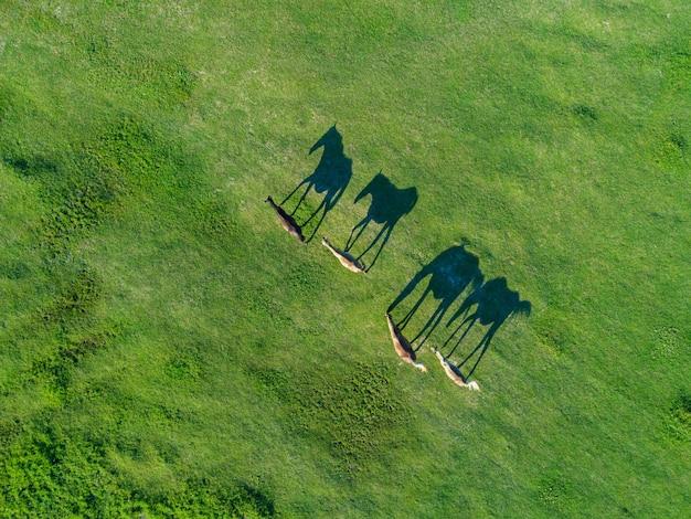 Luftaufnahme von pferden, die auf hellgrünem feld weiden, deren schatten sich in perfekte silhouetten verwandeln