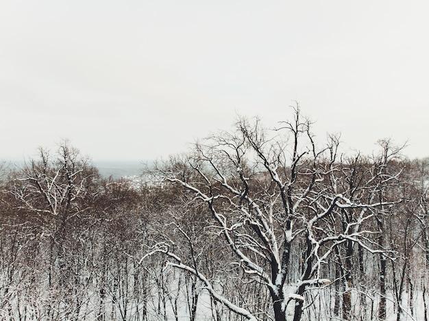Luftaufnahme von schneebedeckten nadelwaldplantagen. fichtenreihen im sonnenlicht.