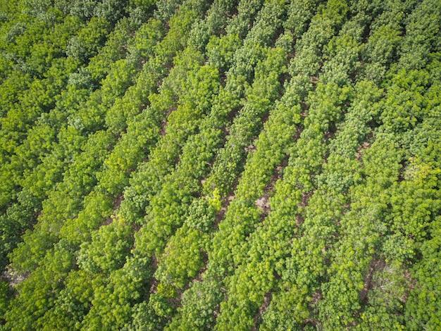 Luftaufnahme waldbaum gummibaum blätter umwelt wald natur hintergrund, textur des grünen baum draufsicht wald von oben, gummibaumplantage
