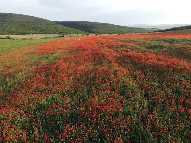 Luftbild auf einem großen feld von roten mohnblumen und grünem gras bei sonnenuntergang schöne scharlachrote mohnfelder