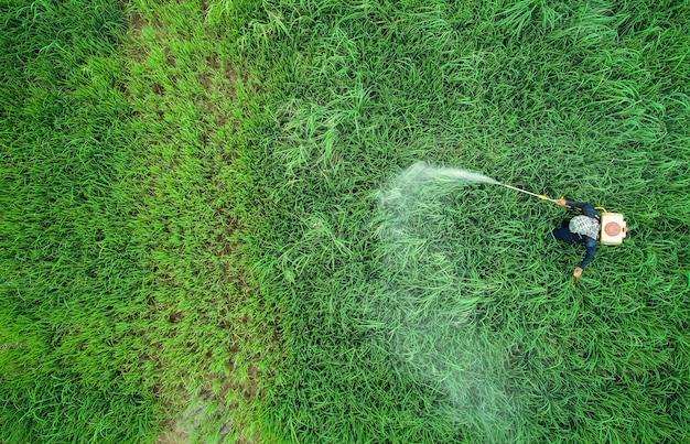 Luftbild von fliegenden drohne. thailändischer landwirt, der chemikalie zum jungen grünen reisfeld sprüht