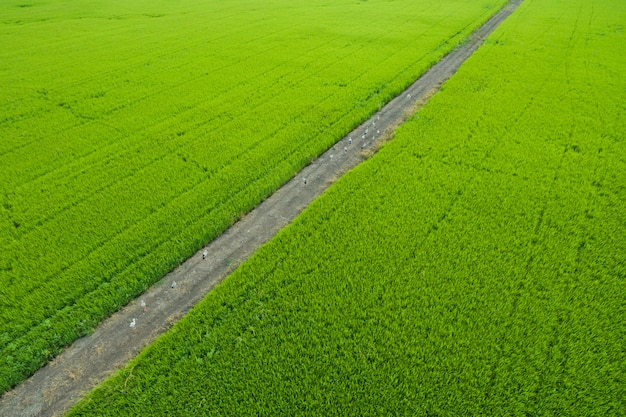 Luftbild von fliegenden drohne von feldreis mit landschaft