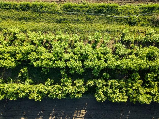 Luftbildplantage von jungen bäumen, ein sonniger frühlingstag. das konzept des naturschutzes. foto von der drohne