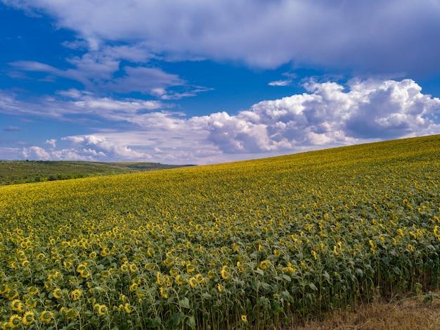Luftflug über blühendes gelbes sonnenblumenfeld mit blauem wolkenlosem himmel. sonnenblumenfeld unter blauem himmel mit weißen flauschigen wolken.