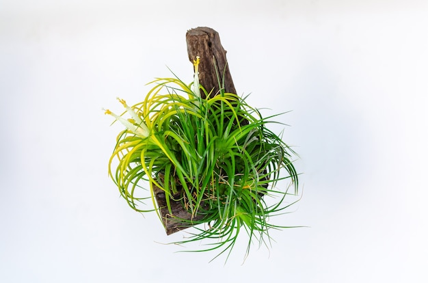 Luftpflanze - tillandsia mit weißen und gelben blumen lokalisiert auf weißem hintergrund.