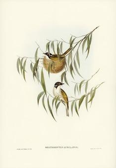 Lunulierter honigfresser (melithreptus lunulatus) illustriert von elizabeth gould