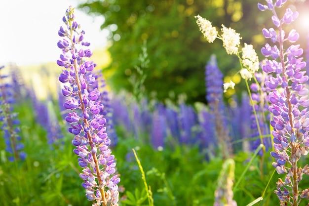 Lupinen blühen auf dem feld in der natur lupinenblumen lila farben