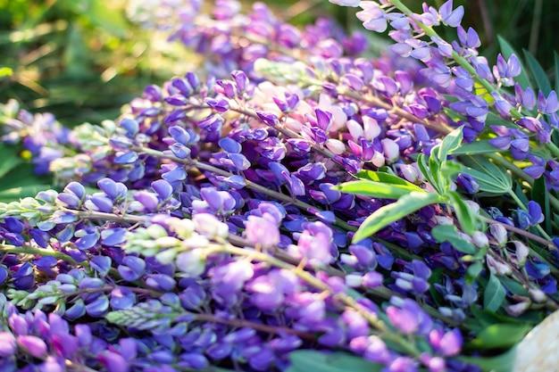 Lupinus, lupine, lupinenfeld mit rosa lila und blauen blüten. bündel lupinen sommerblumenwand. blühende lupinenblüten. ein feld von lupinen. violette frühlings- und sommerblumen. naturkonzept