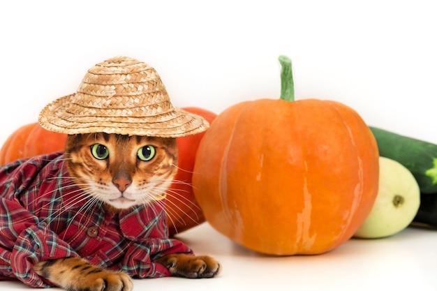 Lustige bengalkatze trägt halloween-bauernkostüm in der nähe von frischem gemüsekürbisernte und petidea