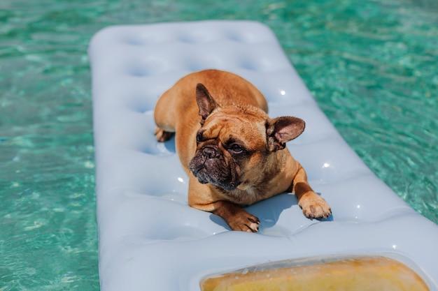 Lustige braune französische bulldogge, die auf einer aufblasbaren auflage sitzt und am swimmingpool sich entspannt. feiertage, entspannen sich und machen mit hundekonzept urlaub