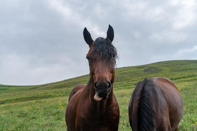 Lustige braune pferd-nahaufnahme mit mund voll gras und einem dummen ausdruck auf seinem gesicht. selektiver fokus