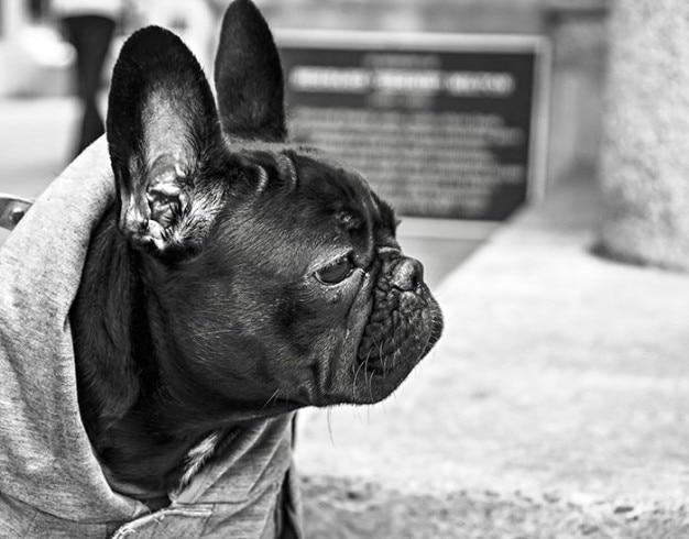 Lustige bulldogge