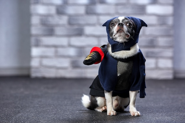 Lustige chihuahua in einem ninja-anzug