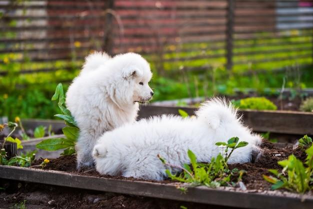 Lustige flauschige weiße samojeden-welpenhunde spielen