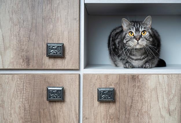 Lustige haustiere. katze sitzt im schrank. nahaufnahmeporträt. katzen lieben es, sich an abgelegenen orten zu verstecken. finden sie ein katzenkonzept.
