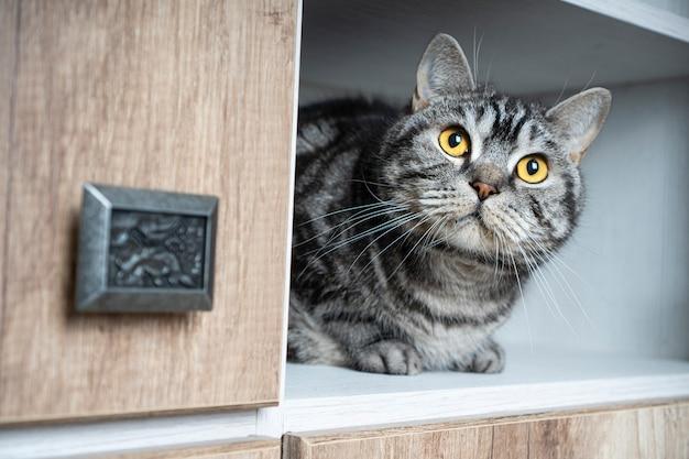 Lustige haustiere. lustige katze schaut aus dem schrank. katzen lieben es, sich an abgelegenen orten zu verstecken. finden sie ein katzenkonzept.