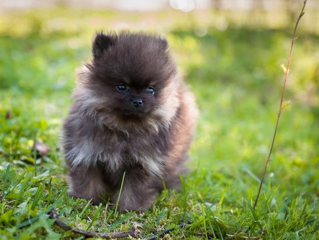 Lustige kleine pommersche hundewelpen sitzen
