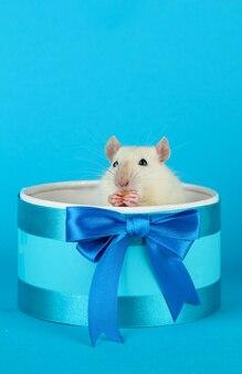 Lustige kleine ratte in der geschenkbox, auf blau