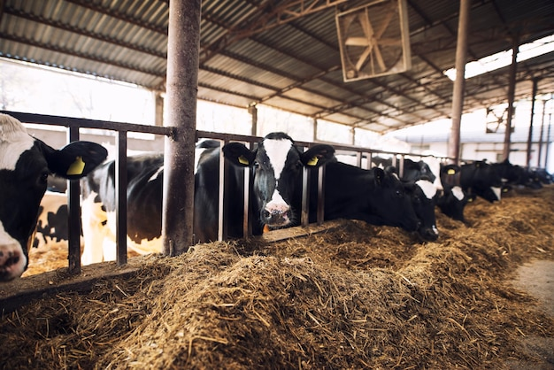 Lustige neugierige kuh, die kamera betrachtet, während andere kühe heu im hintergrund an rinderfarm essen