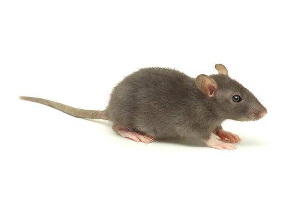Lustige ratte isoliert