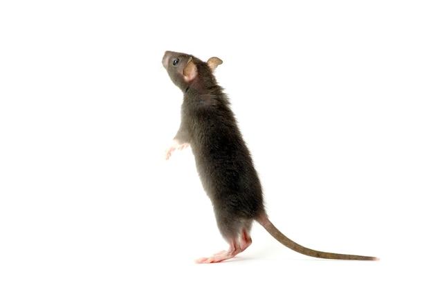 Lustige ratte lokalisiert auf weißer wand