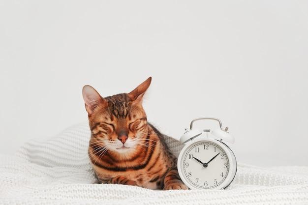 Lustige schlafende schöne ingwer gestreifte bengalkatze, die auf whiteplaidnear wecker liegt textfreiraum