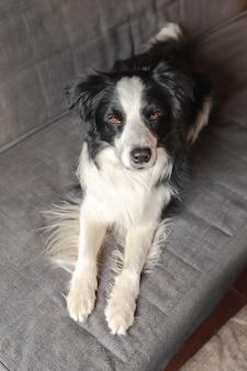 Lustige süße hündchen border collie liegend auf der couch zu hause drinnen. hund ruht bereit, auf einem gemütlichen sofa zu schlafen. haustierpflege und tierkonzept.