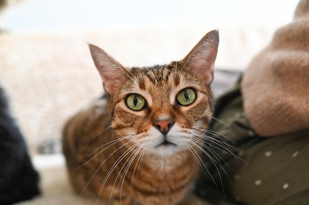 Lustige überraschte abgestreifte katze mit grünen augen nah oben