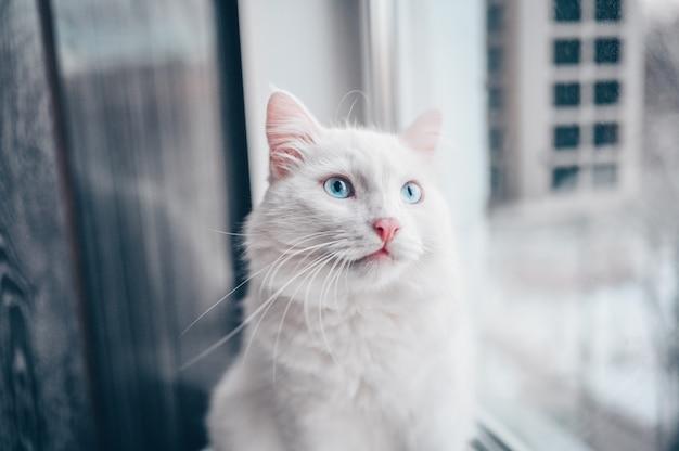 Lustige überraschte weiße flaumige katze mit blauen augen